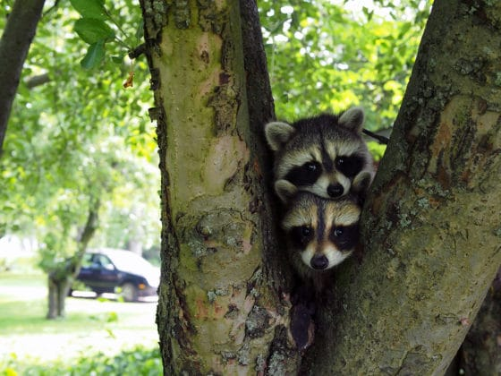 Protect your garden from raccoons
