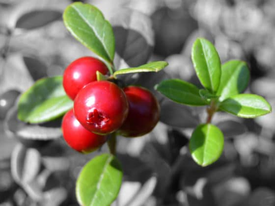 How to Grow Lingonberries